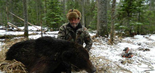 Buryatia brown bear