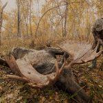 Kamtschatka Elch